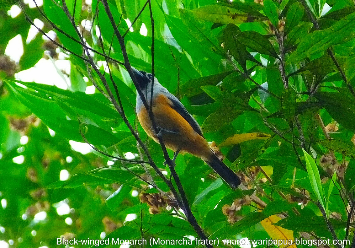 Black-winged Monarch (Monarcha frater)