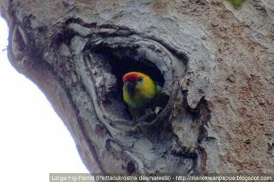 Large Fig Parrot Bird