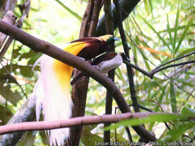 Male and Female Lesser Birds of Paradise