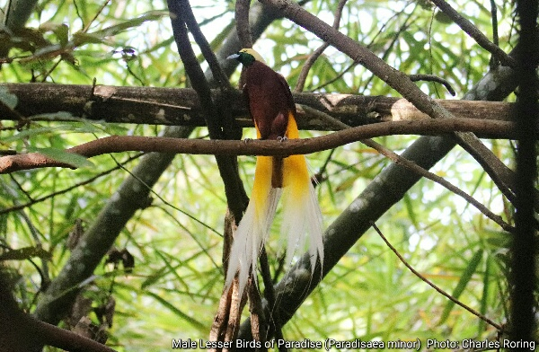 Male Lesser Bird of Paradise