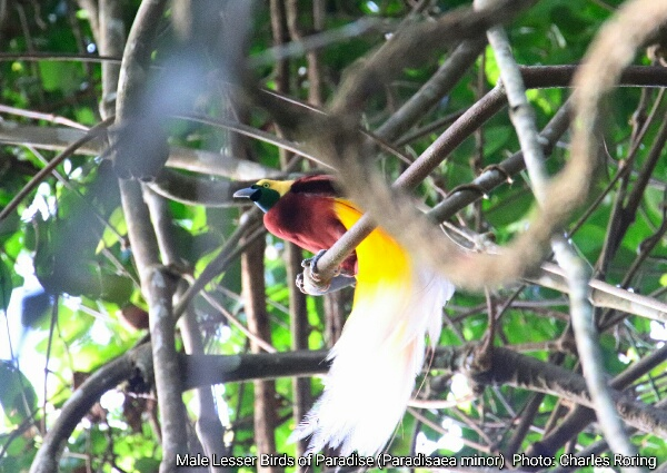 Male Lesser Bird of Paradise sitting on a hanging vine