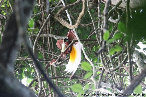 Courtship Dance of Lesser Birds of Paradise