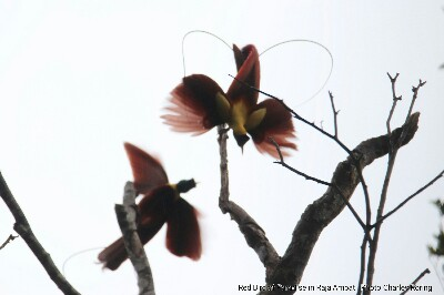 Male Red Birds of Paradise dancing