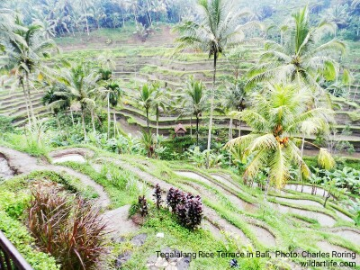 Rice Terrace Landscape in Tegalalang village of Ubud - Bali