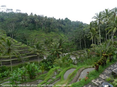 Terraces of Rice Field in Tegalalang Village of Ubud - Bali
