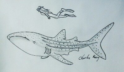 whaleshark drawing