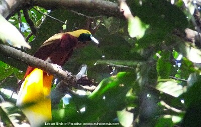Lesser Birds of Paradise in tropical rainforest of West Papua