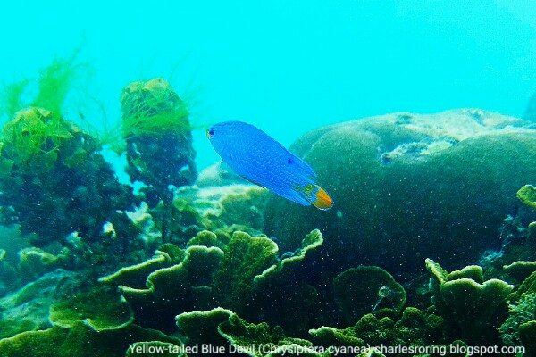 Yellow-tailed Blue Devil-fish