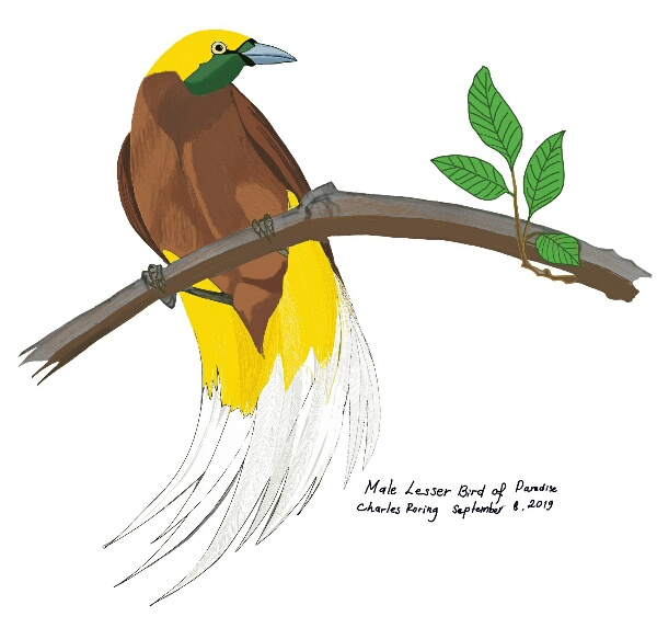 digital drawing of a male Lesser Bird of Paradise made by Charles Roring