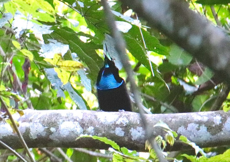 Magnificent Riflebird in Susnguakti forest of Manokwari