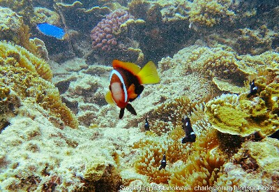 anemonefish in coral reef
