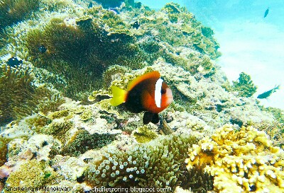 Red and Black Anemonefish (Amphiprion melanopus