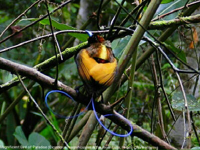 Magnificent Birds of Paradise (Cicinnurus magnificus)