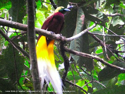 a male Lesser Birds of Paradise in tropical rainforest of Sorong regency