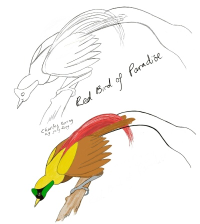 Pencil sketch and colored drawing of Red Bird of Paradise