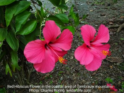 Red Hibiscus Flowers near a beach in Tambrauw regency of West Papua, Indonesia.