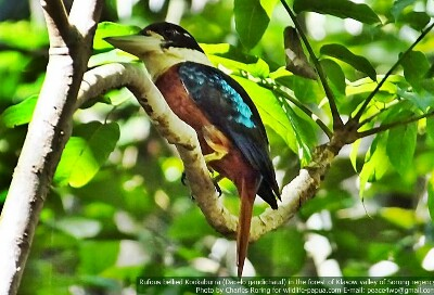 Rufous-bellied Kookaburra in Sorong forest of Indonesia