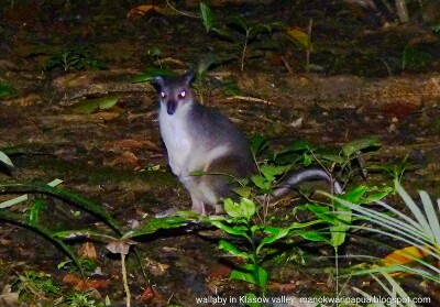 Wallaby is a marsupial animal that looks like kangaroo and lives in the lowland forest of New Guinea