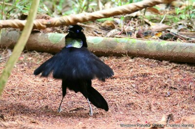 Male Western Parotia a balled dancer