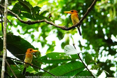yellow billed kingfisher in Sorong regency